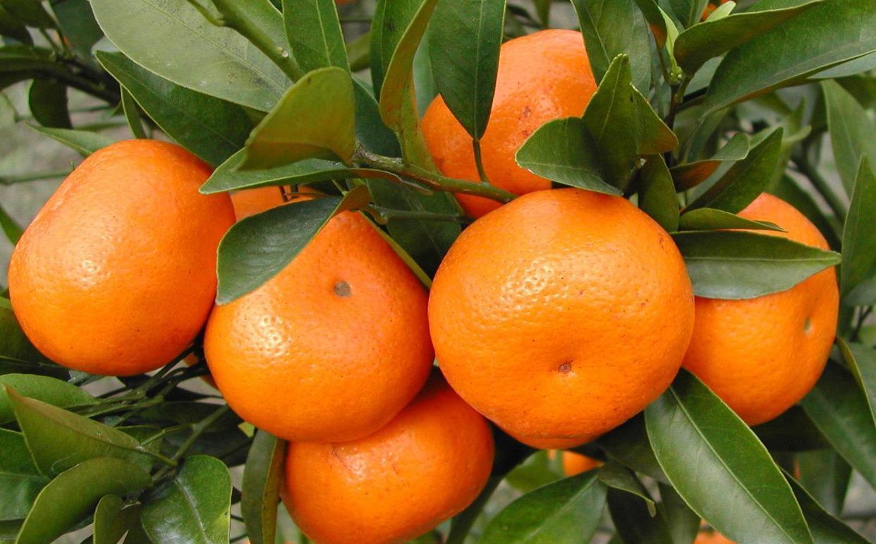 现在受欢迎的三种柑橘品种,皮薄多汁,味道甘甜