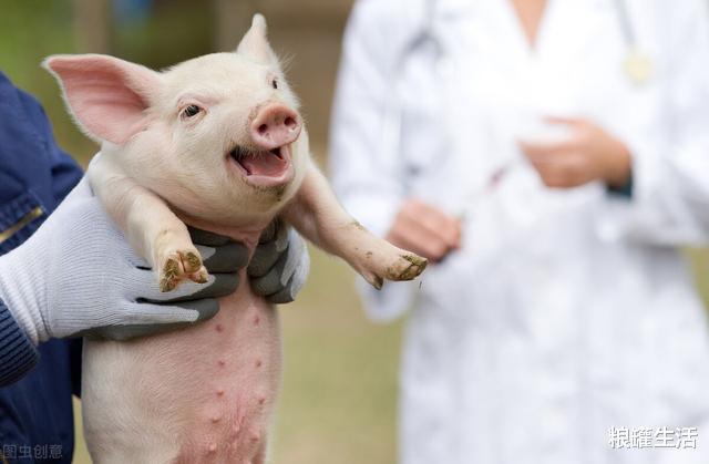 猪价跌一周,25块钱的肉价还在降?非瘟捣乱猪肉有望跌到15元