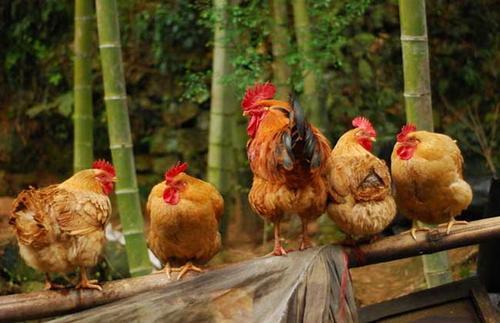 鸡价迅速下跌,背后是什么因素导致,后期又会怎样?