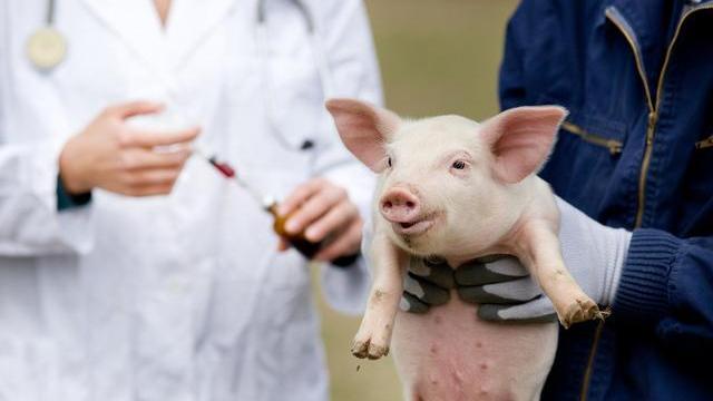 """5月22日猪价:普涨,标猪卖还是留?非瘟疫苗新""""进展""""?快看看"""