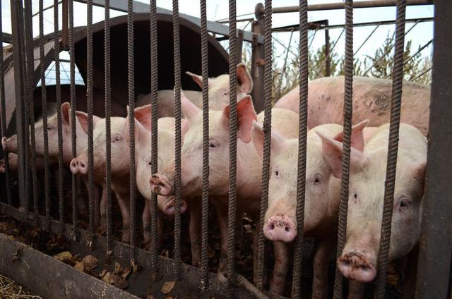 1月28日屠企陆续开工,猪价止跌!2020年是养猪钻石年?答案来了