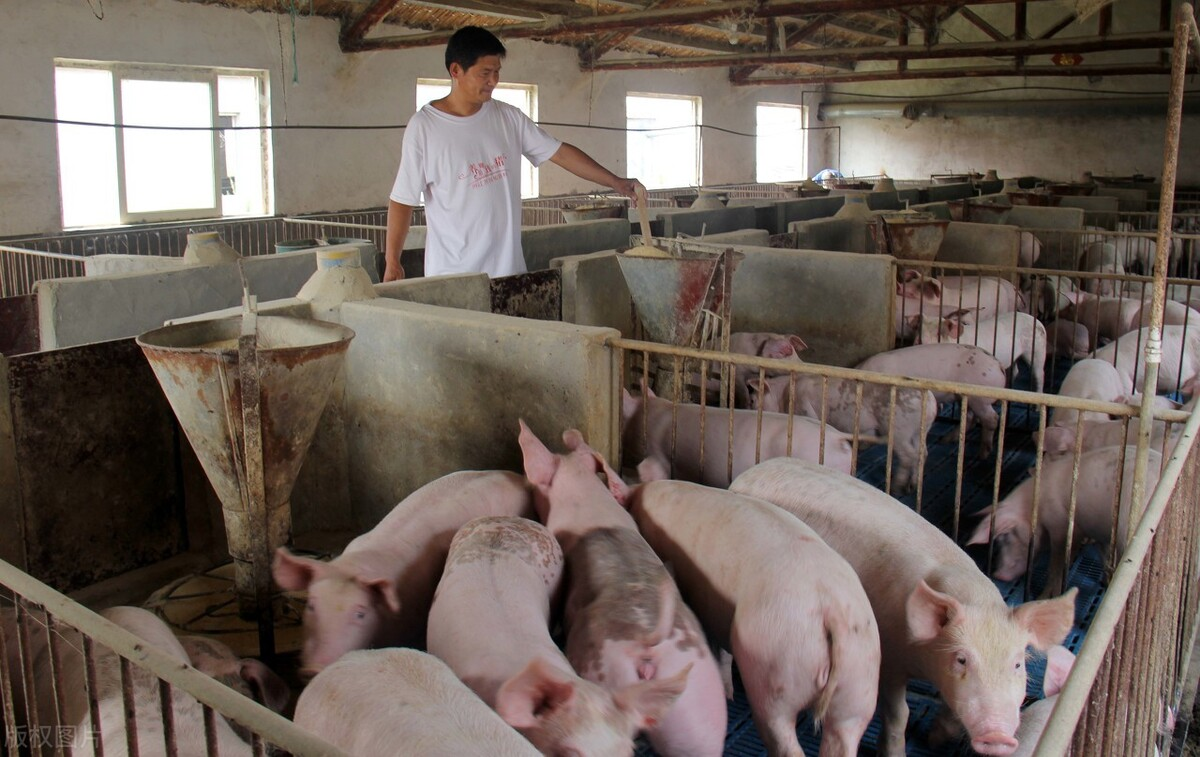 """9月15日猪价:华北东北全线上涨,生猪市场要""""变天""""?答案来了"""