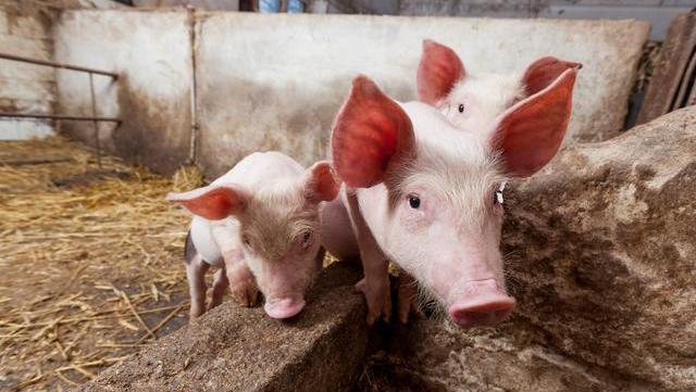 """专家说猪价还要跌,6月2号就暴涨""""打脸"""",为何专家预测不准了?"""