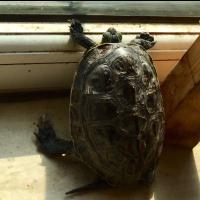 趴窗看雨的小龟(正版)
