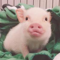 吃可爱多长大的猪猪