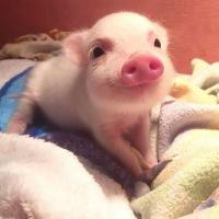 一只超爱笑的小猪猪