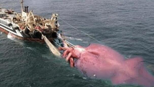 为什么人类不吃大王酸浆鱿鱼?