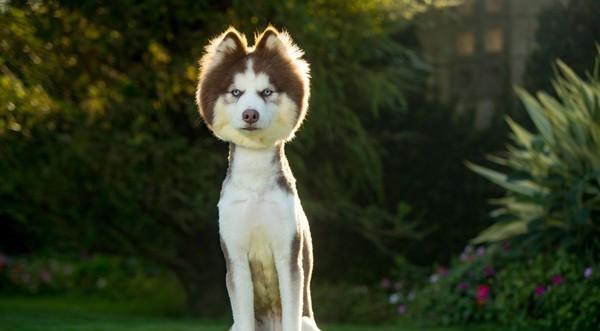 哈士奇剪新发型秒变草泥马,厌世的表情彷彿在警告大家:不要笑!