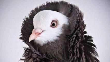 鸽子界的时尚楷模,将蓬松立领发挥到极致