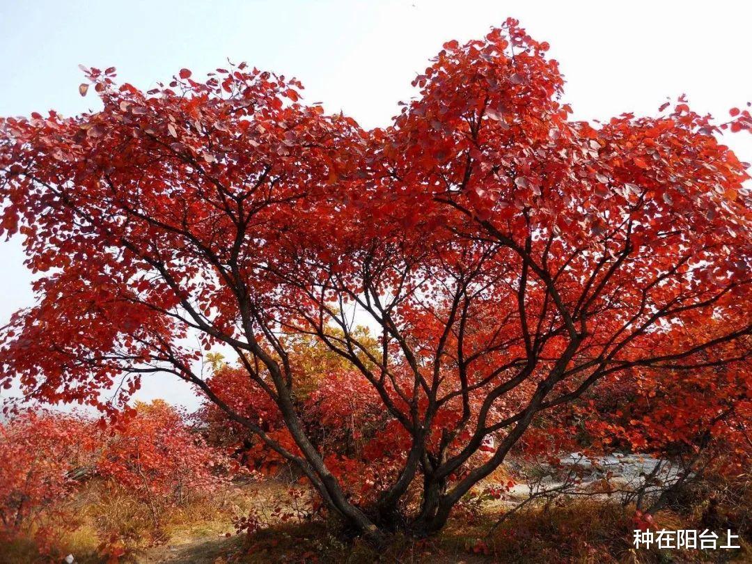 从繁衍到外型,在开启三角枫盆景造做历程中感触感染缤