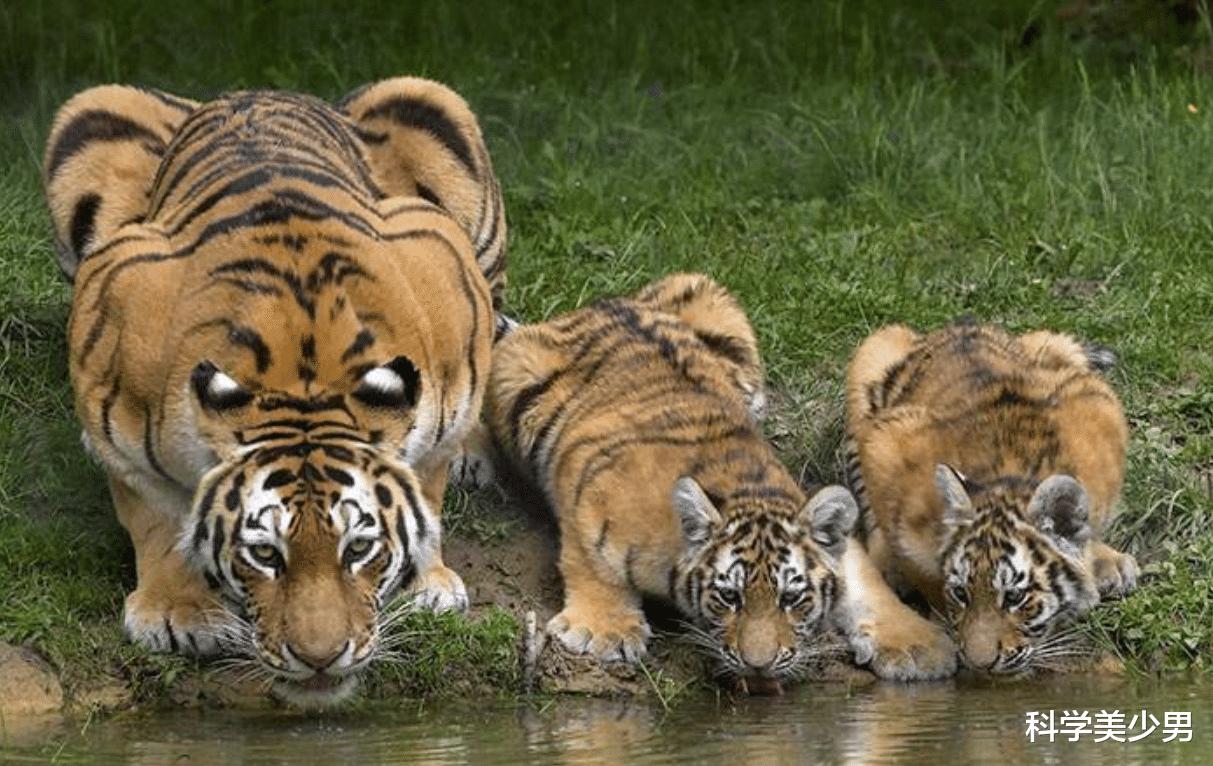 虎毒不食子,为什么很多动物们会吃掉自己的孩子?
