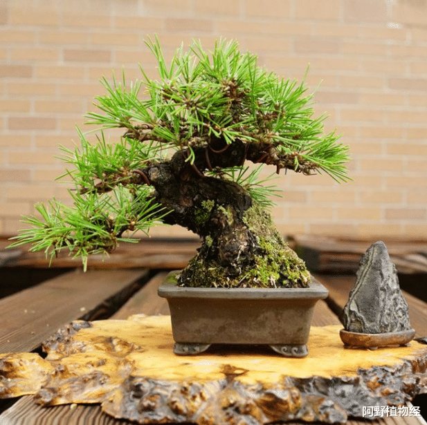 6种高端松树盆景,日本种类占一半,最初1个倒是中国一级