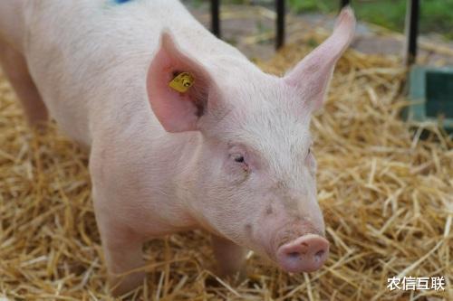 猪价滑坡下跌,全球粮价上涨,养猪人好难!最新猪价、粮价预警