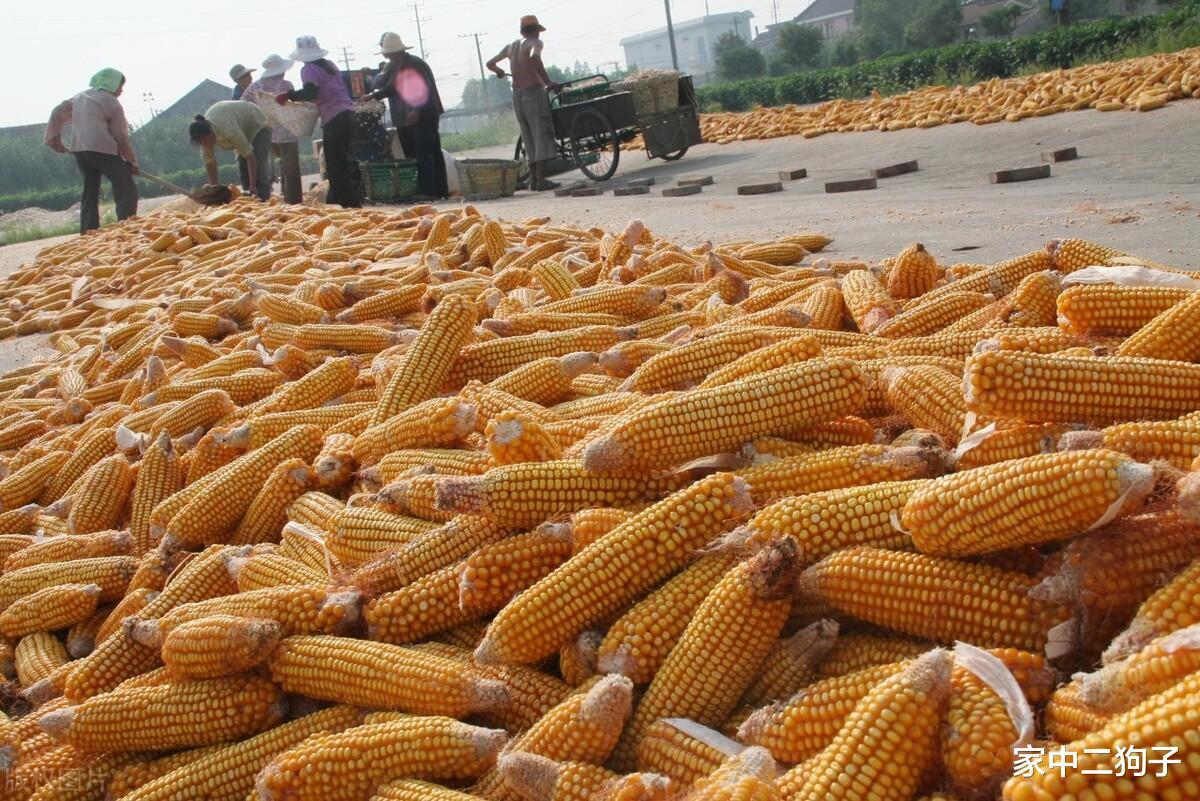 猪价上涨事后,鸡蛋,牛羊诡异跟涨,玉米行情持续走低,发作