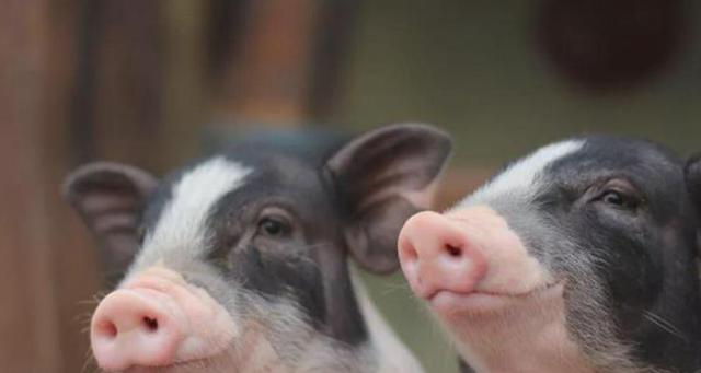 """猪肉降价多地进入""""10元时代"""",农民却不愿意买了,这是咋回事?"""