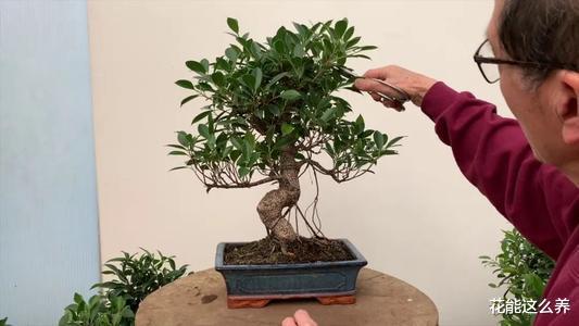 """怎样奇妙地给""""榕树盆景""""施肥,叶大色深,长势好"""