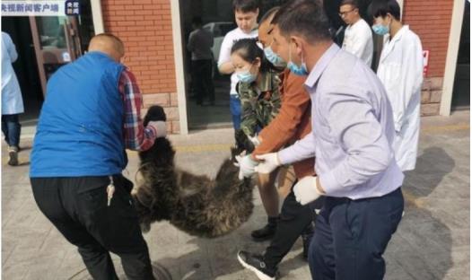 新疆棕熊幼崽被放归山林,假如伤人怎样办?为什么要将其放生?