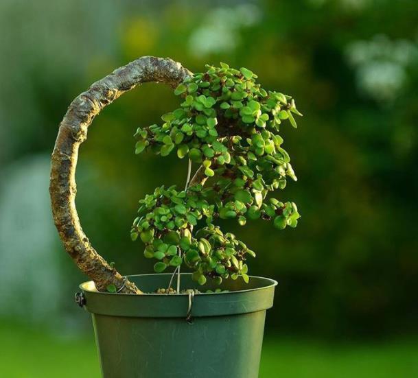 新手养玉树,理解把握5个要点,养成标致的老桩盆景,代价