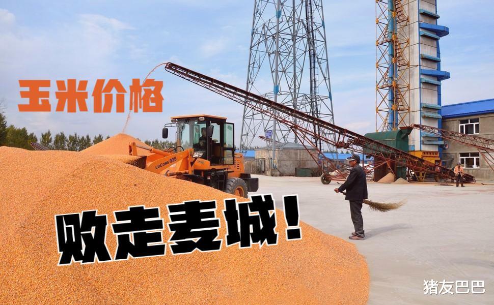 猪价、粮价调整行情,8月1日,猪价窄幅走强,玉米价格败走麦城!
