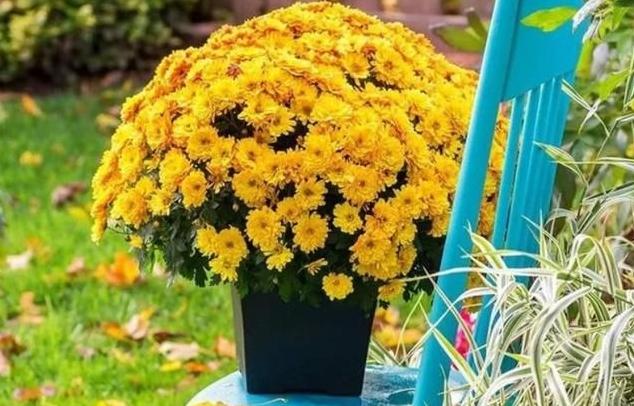 千头菊盆栽做好这4点,花期连续2个月,年年着花一大盆