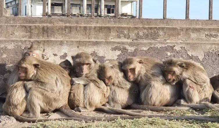 泰国数千只泼猴突然性情大变,很斯文地互相抱在一起,只因这个原因