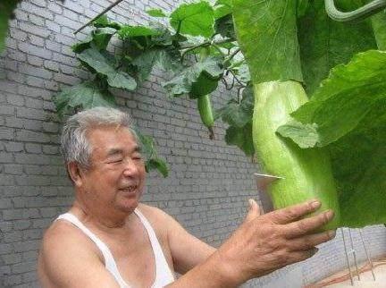 这种瓜随吃随砍, 自然愈合, 你们见过吗?