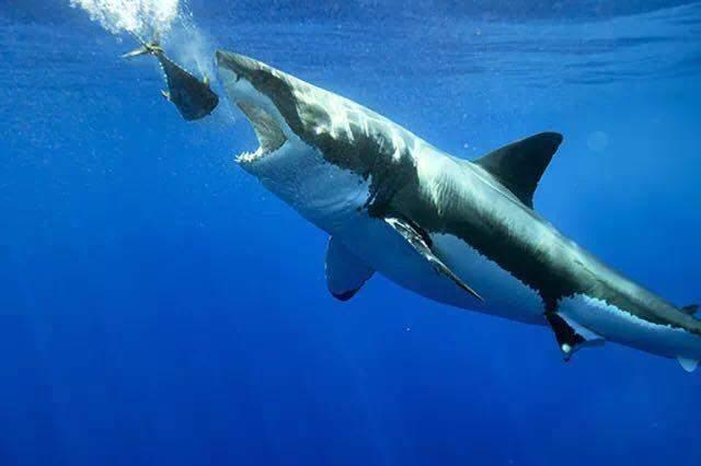 孩子被鲨鱼咬断肢体_鲨鱼正准备吞下作为鱼饵的金枪鱼.图片:the cub life / youtube