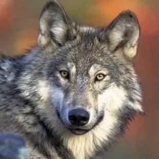 leadingwolf