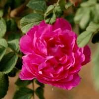平阴玫瑰甲天下