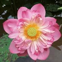 梨花带雨为谁殇