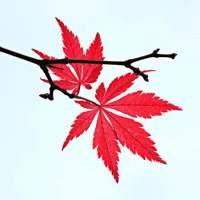 枫叶Begonia