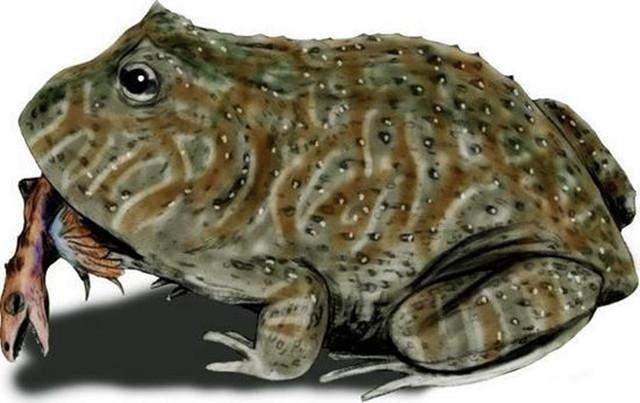 专家发现7000万年前青蛙化石,体
