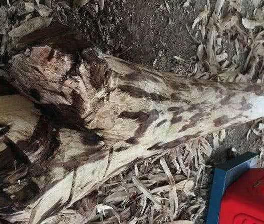 人情冷暖, 老人种了一颗51年的黄花梨树, 作古后树被砍了