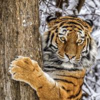 逗趣小老虎