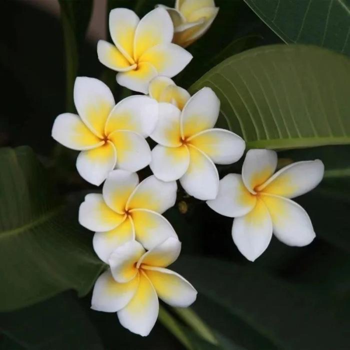 """春天在家養盆""""清熱花"""",揪片葉子、花瓣就能泡水喝,清熱又下火,好看又健康!"""