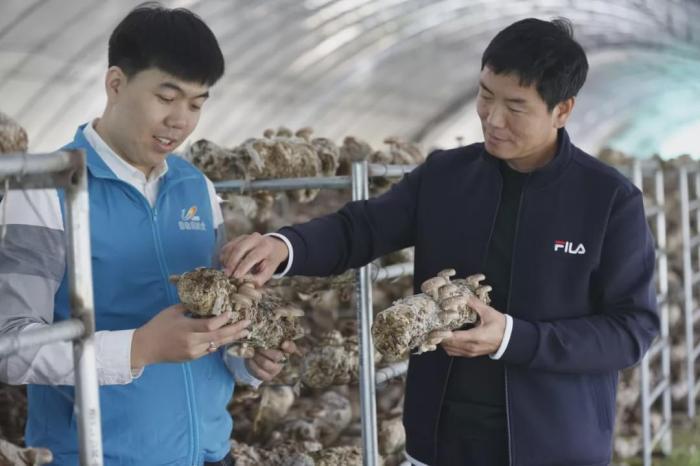 小蘑菇撑起钱袋子 碧桂园携手致富带头人打造致
