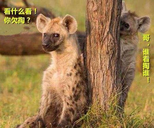 """鬣狗为什么被称为非洲""""二哥""""? 哈哈哈网友都是人才啊"""