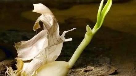 大蒜放久了就會變綠,變綠的大蒜能吃嗎?吃了會不會中毒?