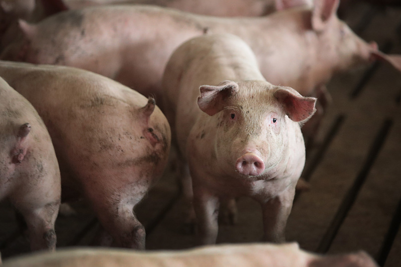 """9月20日豬價""""跌慘"""",華北東北是""""重點"""",豬價要跌回15一斤?-圖4"""