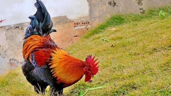 生肖雞:四月上旬家裡有人員調動,未來1個月「雞飛蛋打」!