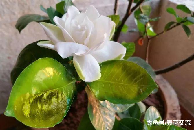 养死盆栽栀子花常见的5个错误操作, 促进常年开花的