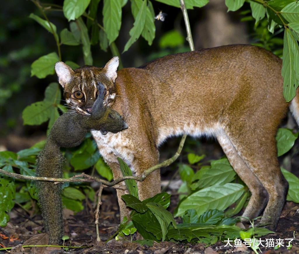 亚洲金猫_女性  在历史上,有亚洲金猫分布的森林里一般都有老虎和豹子,但由于