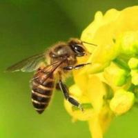 双桥养蜂人