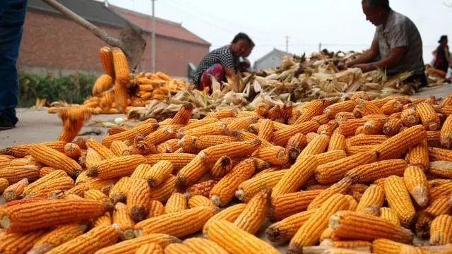 玉米價格再創年內高點!10月後,或出現下降-圖3