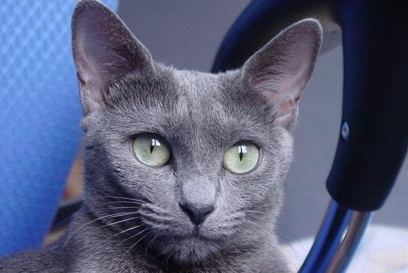 """俄羅斯藍貓——有著""""短毛種之貴族""""的美譽,並帶有東方的韻味-圖3"""