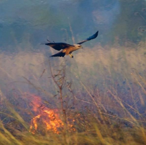 澳大利亞人哭訴:這個毀掉半個澳洲的猛禽,在中國為啥人畜無害?-圖5
