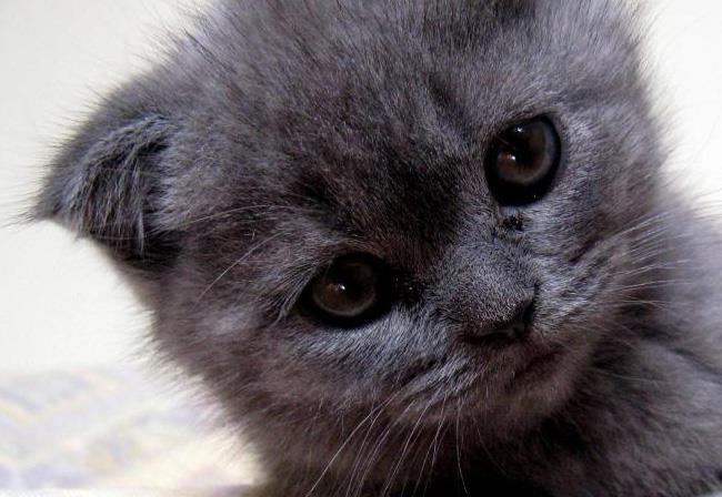 """俄羅斯藍貓——有著""""短毛種之貴族""""的美譽,並帶有東方的韻味-圖8"""