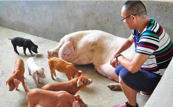 生豬價走跌,養豬人戰線聯盟土崩瓦解?專傢:豬肉好時代要來瞭-圖5