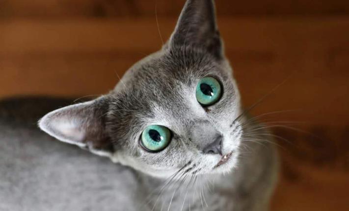 """俄羅斯藍貓——有著""""短毛種之貴族""""的美譽,並帶有東方的韻味-圖2"""