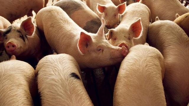 8月31日豬價又是8漲,豬肉回歸15元有多難?答:3個阻力-圖4